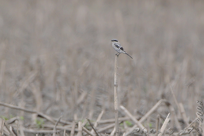 Loggerhead Shrike <br /> Farther down Keetman Sod Farm road <br /> Long ways out but anythings better then nuthin' <br /> <br /> No. 199 on my Lifetime List of Birds <br /> Photographed in Missouri