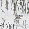 Red-necked Phalarope <br /> Firma and Dalbow road intersection