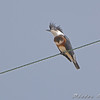 Does she look goofy or what?<br /> Belted Kingfisher <br /> Intersection Glacial Sand Road <br /> and sod farm road.