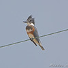 Belted Kingfisher <br /> Inersecion Glacial Sand Road <br /> and sod farm road.