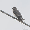 Northern Rough-winged Swallow <br /> Dalbow Road