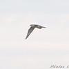 Peregrine Falcon <br /> BK Leach