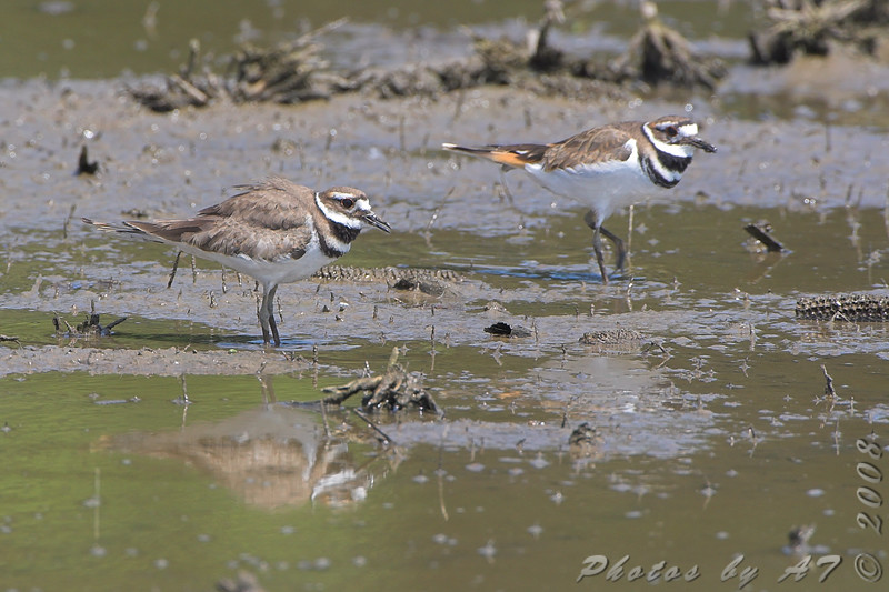 Killdeer <br /> Hayford Road
