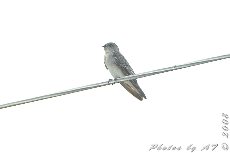 Northern Rough-winged Swallow <br /> BK Leach
