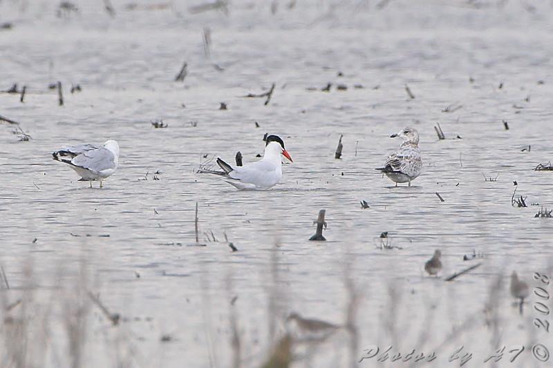 Caspian Tern <br /> BK Leach <br /> <br /> No. 203 on my Lifetime List of Bird Species <br /> Photographed in Missouri