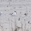 Caspian Tern <br /> BK Leach <br /> <br /> No. 203 on my Lifetime List of Bird Species <br /> Photographed in Missouri