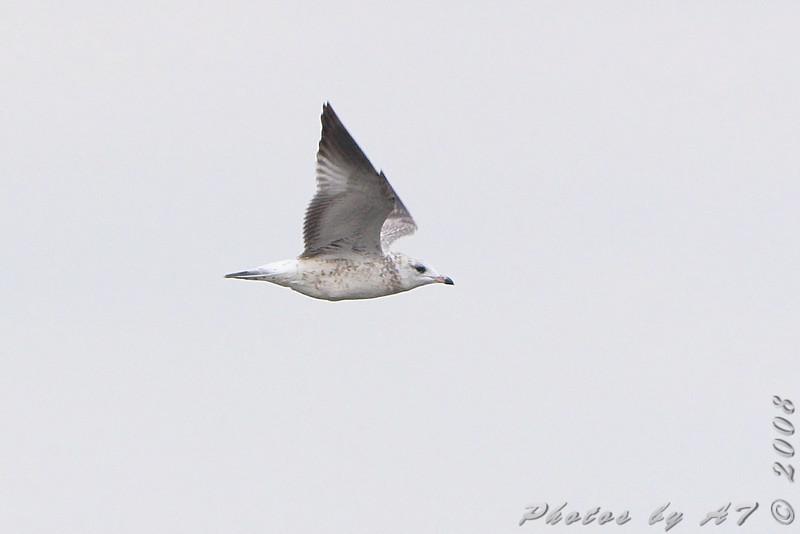 Unknown gull <br /> BK Leach