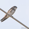 Bank Swallow <br /> Dalbow Road <br /> 2008-08-12<br /> <br /> No. 202 on my Lifetime List of Bird Species <br /> Photographed in Missouri