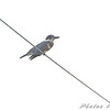 Belted Kingfisher <br /> BK Leach