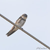 Bank Swallow <br /> Dalbow Road