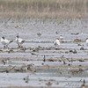 Could that be a Dowitcher between the right two Caspian Terns? <br /> B.K. Leach Conservation Area