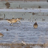 Short-billed Dowitcher <br /> B.K. Leach Conservation Area <br /> <br /> No. 204 on my Lifetime List of Bird Species <br /> Photographed in Missouri