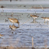 Short-billed Dowitcher amongst the Pectoral Sandpipers.<br /> B.K. Leach Conservation Area