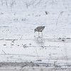 American Golden-Plover <br /> It's molting to get a new drabber dress for upcoming winter. <br /> B.K. Leach Conservation Area