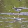 Solitary Sandpiper <br /> Clarence Cannon National Wildlife Refuge