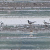 Black Terns <br /> B.K. Leach Conservation Area