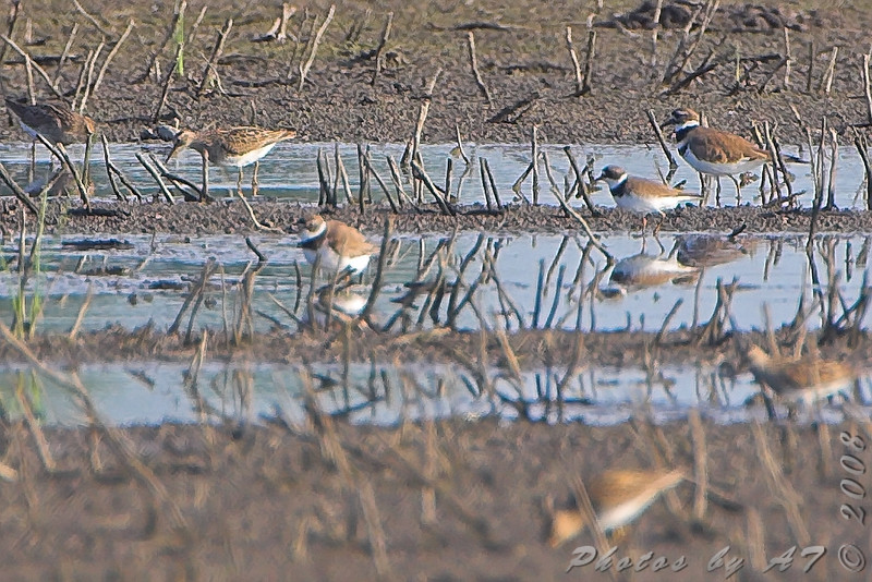 Two Semipalmated Plovers <br /> Clarence Cannon National Wildlife Refuge
