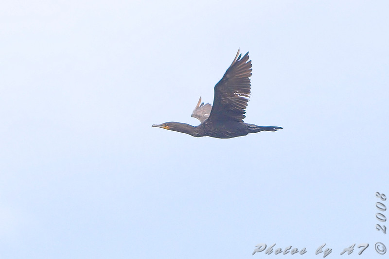 Double-crested Cormorant <br /> B.K. Leach Conservation Area