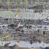 American Golden-Plover <br /> Clarence Cannon National Wildlife Refuge