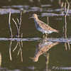 Pectoral Sandpiper <br /> Clarence Cannon National Wildlife Refuge