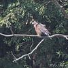 Red-shouldered Hawk <br /> Road TT into <br /> Otter Slough State Wildlife Management Area
