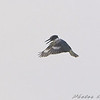 Belted Kingfisher <br /> Private lake next to Otter Slough <br /> State Wildlife Management Area
