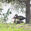 Black-bellied Whistling-Ducks <br /> Private lake next to Otter Slough <br /> State Wildlife Management Area