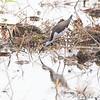 Black-necked Stilt (female)<br /> Otter Slough State Wildlife Management Area