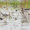 Black-necked Stilt <br /> Otter Slough State Wildlife Management Area