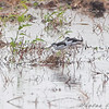 Black-necked Stilts <br /> Otter Slough State Wildlife Management Area