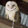 Barn Owl <br /> Manitz Conservation Area