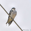 Tree Swallow <br /> Road TT into <br /> Otter Slough State Wildlife Management Area