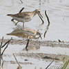 Pectoral and Least Sandpiper <br /> Clarence Cannon National Wildlife Refuge