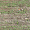 Buff-breasted Sandpipers and Killdeer <br /> Clarence Cannon National Wildlife Refuge