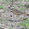 Kildeer <br /> Clarence Cannon National Wildlife Refuge