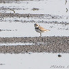 Semipalmated Plover <br /> Clarence Cannon National Wildlife Refuge