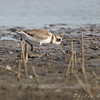 Snowy, Piping or Semipalmated Plover  ?<br /> Columbia Bottom Conservation Area