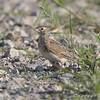 Horned Lark  <br /> Columbia Bottom Conservation Area