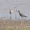American Golden-Plover <br /> Columbia Bottom Conservation Area