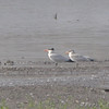 Caspian Terns <br /> Riverlands Migratory Bird Sanctuary