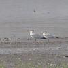 Caspian Terns <br /> Riverlands Migratory Bird Sanctuary