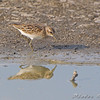 Least Sandpiper <br /> Columbia Bottom Conservation Area