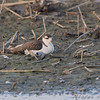 Black-necked Stilt <br /> Columbia Bottom Conservation Area