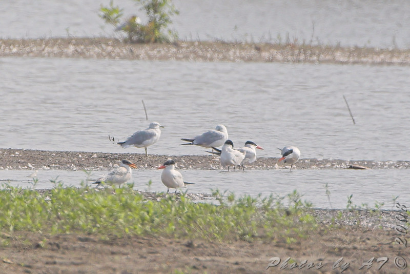 Caspian Terns and Ring-bills Gulls <br /> Riverlands Migratory Bird Sanctuary