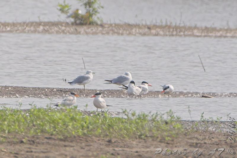 Caspian Terns and Ring-bills Gulls <br /> Riverlands Migratory Bird Sanctuary