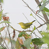 ? Female Yellow Warbler ? <br /> Clarence Cannon National Wildlife Refuge