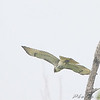immature Red-tailed Hawk <br /> Clarence Cannon National Wildlife Refuge