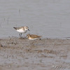 Semipalmated Sandpiper and Least sandpiper <br /> Clarence Cannon National Wildlife Refuge