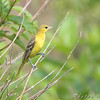 Orchard Oriole <br /> Clarence Cannon National Wildlife Refuge