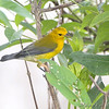 Prothonotary Warbler <br /> Clarence Cannon National Wildlife Refuge